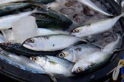 Chub mackerel (Rastrelliger brachysoma). Fresh Chub mackerel (Rastrelliger brachysoma) at Thailand market Royalty Free Stock Photography