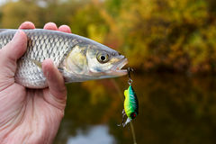 Chub with plastic bait in mouth Royalty Free Stock Images