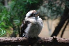 Chubby πουλί Kookaburra σε ένα ευρύ πεσμένο κούτσουρο Στοκ φωτογραφίες με δικαίωμα ελεύθερης χρήσης
