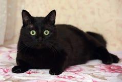 Chubby beautiful Bombay cat. Beautiful chubby black Bombay cat Royalty Free Stock Photos