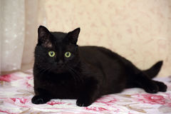 Chubby beautiful Bombay cat Royalty Free Stock Photo