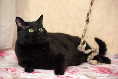 Chubby beautiful Bombay cat Stock Images