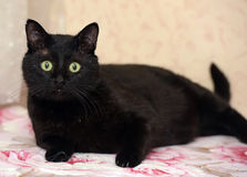Chubby beautiful Bombay cat Royalty Free Stock Photos