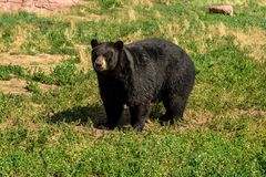 Chubby black bear walking around on the field stock images