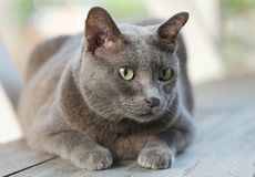 Chubby blue Siamese cat sitting on wood bench. Soft focus. For animal lovers, pet articles or product royalty free stock images