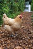 Chubby Buff Orphington Chicken en el corral imagen de archivo libre de regalías