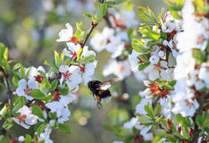 Chubby Bumble bee collects nectar in the lush spring garden Stock Photo