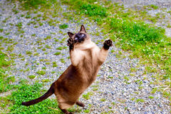 Chubby cat jumping in the air. This cat is chubby and can barely jump Royalty Free Stock Image