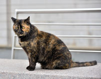 Chubby cat Royalty Free Stock Photography