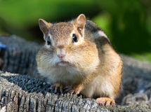 Chubby Cheeked Chipmunk. Photograph of a Chipmunk with full cheek pouches as he gathers food for the winter Royalty Free Stock Photo