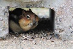 Chubby Cheeks. Cute chipmunk munching on nuts Stock Photo