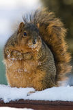 Chubby And Cute Fox Squirrel Stock Image