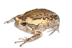 Chubby frog Stock Images