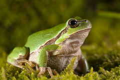 Chubby frog Royalty Free Stock Image