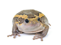 Chubby frog on white background Stock Image