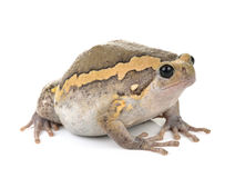 Chubby frog on white background Royalty Free Stock Photo