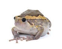 Chubby frog Royalty Free Stock Images