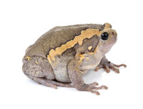 Chubby frog on white background Royalty Free Stock Images