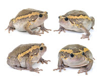 Chubby frog on white background Royalty Free Stock Photos