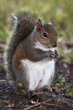 Chubby Squirrel Eating a Peanut Royalty Free Stock Photos