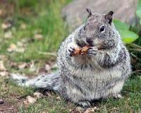 Chubby Grey Squirrel Munching auf einer Erdnuss Stockbild