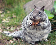 Chubby Grey Squirrel Munching on a Peanut. Closeup of a Chubby Grey Squirrel Munching on a Peanut royalty free stock photography
