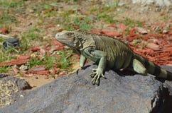 Chubby Iguana Balancing en una roca foto de archivo