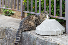 Chubby Japanese cat. Stock Images
