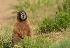 Chubby Marmot Sits Up och blickar omkring arkivfoton