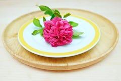 Chubby Pink Rose Flower en platos dobles Fotografía de archivo libre de regalías