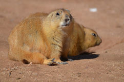 Chubby Prairie Dog Sitting Up avec son ami Photographie stock