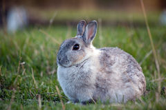 Chubby Rabbit Stock Photo