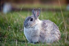 Chubby Rabbit Stock Photo