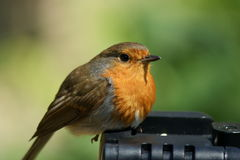 Chubby robin redbreast Stock Photography