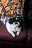 Chubby Shih Tzu Royalty Free Stock Photo