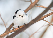 Chubby white bird titmouse sitting in a winter forest Stock Photos