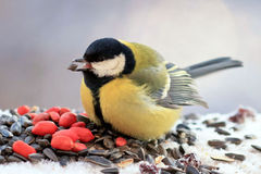 Chubby yellow bird eating seeds and nuts in the snow. One little chubby bird yellow bird eating seeds and nuts on the white snow in the winter, fluffed feathers royalty free stock photos