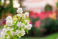 Chubushnik或者茉莉花庭院绽放在公园 开花的布什 在树的白花 分支在被弄脏的色的背景 库存照片