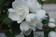 Chubushnik kwiaty z kopią kwitną dzwony zdjęcie royalty free