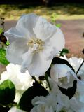 Chubushnika белых цветков Чувствительные бутоны весны стоковое фото