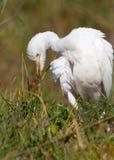 chuchający chuchać bydła egret Fotografia Royalty Free