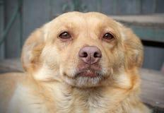 Chucho rojo del perro año del símbolo del perro Fotografía de archivo libre de regalías
