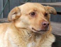 Chucho rojo del perro año del símbolo del perro Foto de archivo libre de regalías