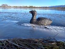 Chuchulo鸭子在湖的freez ing水中 库存照片