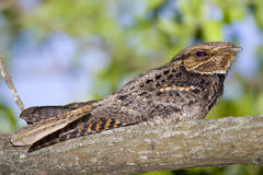 Chuck-will's-widow perched. A Chuck-will's-widow perched high up in a tree Royalty Free Stock Photography