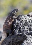 chuckwalla拉丁蜥蜴名字obesus大型蜥蜴 库存照片
