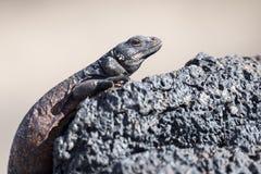chuckwalla拉丁蜥蜴名字obesus大型蜥蜴 图库摄影