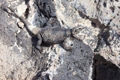 chuckwalla拉丁蜥蜴名字obesus大型蜥蜴 库存图片