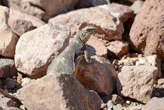 Chuckwalla蜥蜴在沙漠环境里 免版税库存图片