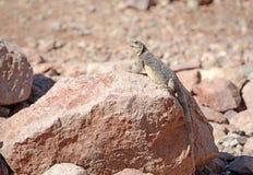 Chuckwalla蜥蜴在沙漠环境里 图库摄影